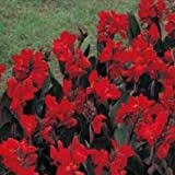 Portal Cool Canna - Tropical Bronze Scarlet - 5 Samen