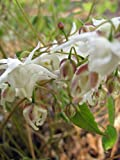 Staudenkulturen Wauschkuhn Epimedium grandiflorum 'White Queen' - Elfenblume - Staude im 9cm Topf