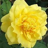 Golden Gate® ADR Rose Kletterrose