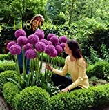 Riesen Allium Samen