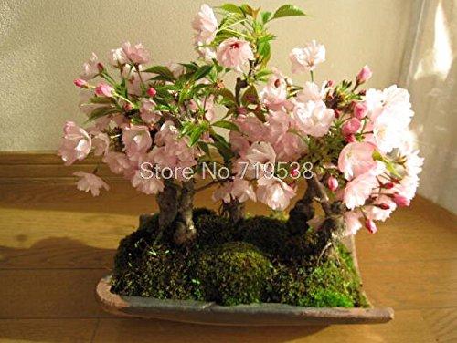 rares japonais graines de fleur graines sakura cerise plantes Bonsai pour la maison et le jardin 5 graines