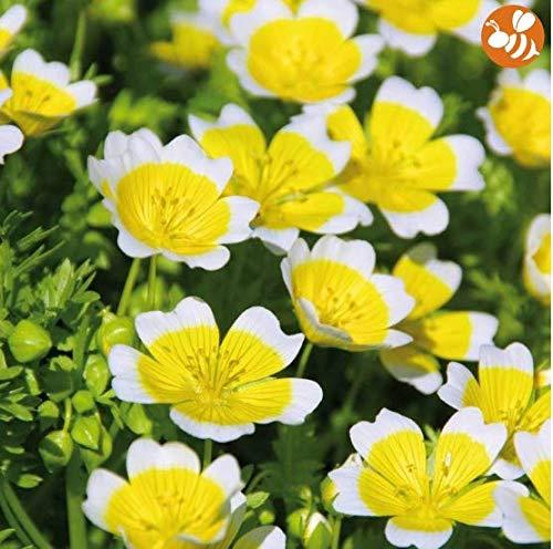 Qulista Samenhaus - 50pcs Rarität Sumpfblume \'Spiegelei\' Gelb bienenfreundlich   Blumensamen Mischung mehrjährig Winterhart, toll im Topf und Beet