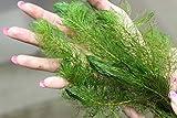 1 Bund Tausendblatt (Myriophyllum) Unterwasserpflanze Teichpflanzen Teichpflanze Schwimmpflanzen