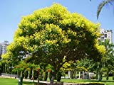 #9: Tree Seeds : Yellow Poinciana - A Good Tree For Shade Home Garden Pack by Creative Farmer