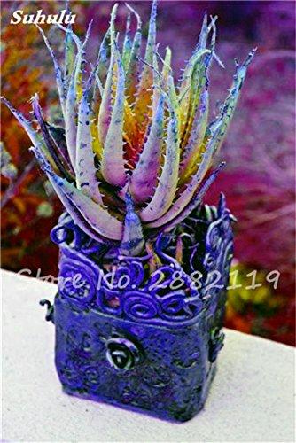 50 Pcs Aloe Vera Graines Beauté comestibles cosmétiques colorés Bonsai Cactus Succulentes Plantes Fleurs Légumes Fruits Graines Pour Balcon 3