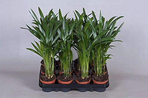 Blume-Senf Goldfruchtpalme 35-40 cm / Topf Ø 9 cm / Chrysalidocarpus lutescens / Areca Palme / Dypsis lutescens