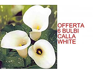 OFFERTA 6 BULBI PRIMAVERILI DI CALLA WHITE BULBS