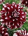 Schmuck Dahlie großblumig X Factor Knolle Blumenzwiebeln von Blumenhandel Ullrich auf Du und dein Garten
