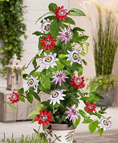 Yukio Samenhaus - Rarität Geflügelte Passionsblume Rot Kletterpflanze, Duftende Blüten und essbare Früchte, Sommerblume Blumensamen mehrjährig winterhart exotisch