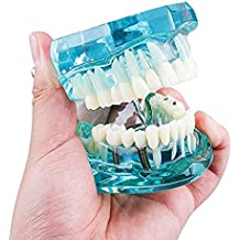Zgood Dental - Modelo de dientes de estudio para adultos