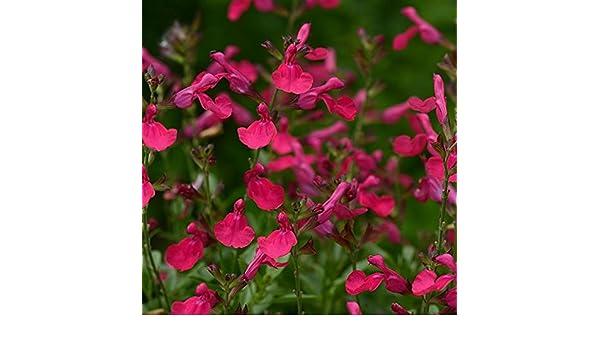 Pack x6 Salvia Greggii Mirage™ Deep Purple/' Perennial Plug Plants New Variety!