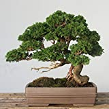 #8: Creative Farmer Cypress Bonsai Seeds