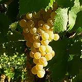 Vitis 'Italia' - Vigne de table blanc - Gros Raisin italien