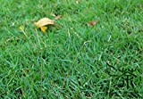 Evergreen lawn Japanese Zoysia grass seeds Drought and resistance to trampling Warm-season for home garden plant 100g / Pack