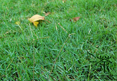 Largement Cultivées Graines de Cynodon de poule 1800pcs, famille Graminée Déco Bahama Vert gazon jardinage Graines, Naturel Bermuda Herbe Graines