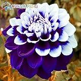 Green Seeds Co. 100 Stücke Seltene Blaue Und Weiße Punkt Dahlie pflanzen Schöne Mehrjährige Blumen pflanzen Dahlia Für Diy Hausgarten Sementes Bonsai: Mehrfarbig
