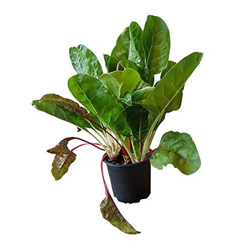 Mangold bunter Mix, robuste große Pflanze im 12 cm Topf, vitaminreiches Küchen-Gemüse, bis zu 30 cm lange Gemüse-Blätter, Gärtnerqualität