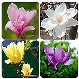 Portal Cool White: 100Pcs Saucer Magnolia Magnolia Soulangiana Duftende Blumen Baumsamen Garten