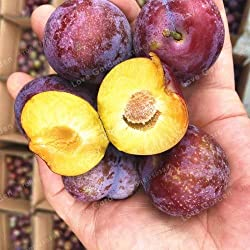 Pinkdose 10pcs Familie Rosaceae Prunus Cerasifera Pflanze Zierpflanze Kirschpflaume Strauch Pflanze weit kultiviert Myrobalan Pflaume Pflanze: 3