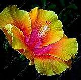 100 PC / bag Hibiskus Blumensamen, Riesen-Bonsai Hibiskus Samen Balkon Topfblumensamen Zwerg Pflanze wachsen einfach für zu Hause Garten Lila