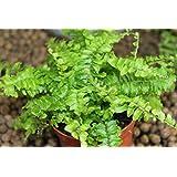Planta de interior - Nephrolepis- Helecho de Boston - Planta frondosa para casa - Aproximadamente 45 cm de alto