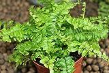 Plante d'intérieur - Nephrolepsis - Fougère de Boston - Plante d'intérieur buissonnante d'env. 45cm de haut