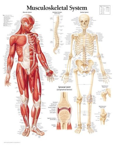 Musculoskeletal System Laminated Poster por Scientific Publishing