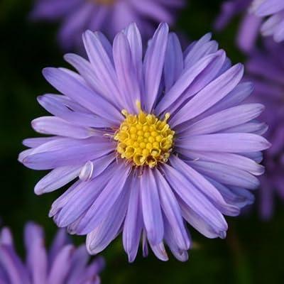lichtnelke - Kissenaster (Aster dumosus) blau MITTELMEER von Lichtnelke Pflanzenversand auf Du und dein Garten