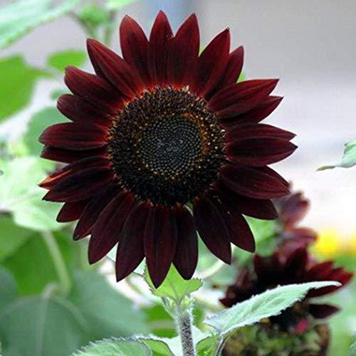 mymotto Blumensamen - 20 Samen/Packung Raritäten Sonnenblumesamen Schwarz Sonnenblumen für Zaun & Garten -