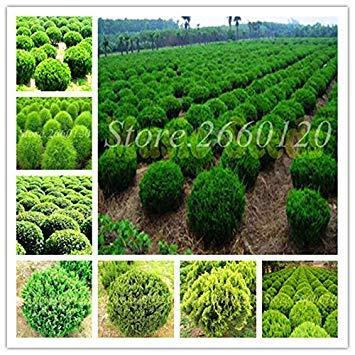 genuine! 100 pc bonsai juniper coperta mini albero in vaso del giardino di fiori piante purificano l'aria assorbire i gas nocivi per flower pot: 10 pezzi