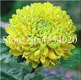 AGROBITS 100 piezas del crisantemo planta de Bonsai Bonsai flor del aster Flor Seedsplants crisantemo del arco iris perenne de flores a domicilio jardín: 11