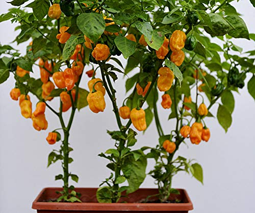 Bobby-Seeds Chili- Peperonisamen Numex Suave Orange Portion