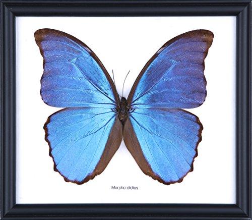 Preisvergleich Produktbild Die GIANT blau Morpho Schmetterling (Morpho didius) Gerahmter & montiert unter Glas, Schmetterling TAXIDERMIE Home Decor