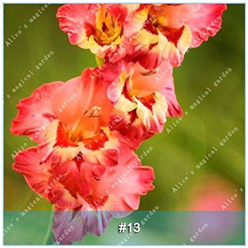 Galleria fotografica ZLKING 1 PCS 15 tipi cinese Gladiolo Fiore lampadina non Seeds Gladiolus aggiornato Alto Tasso di germinazione facile da coltivare Orchid Bonsai 13