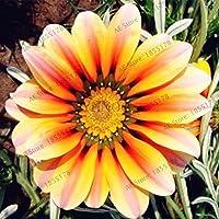 100pcs / bag raras Semillas Flores Gazania Rig casera de las semillas Balcón Jardín Bonsai ornamental splendens crisantemo 9