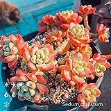 Portal Cool 100Pcs Sedum 'Golden Glow' Kakteensamen Blumen Bonsai Topfpflanzen Baumgarten