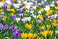 1000 botanische Krokusse Mix Gr.6/7 Blumenzwiebeln (ideal für die Wiese) von Krull Pflanzenhandel auf Du und dein Garten