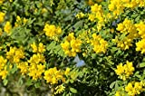 Coronilla Glauca Citrina Climber in a 19cm pot