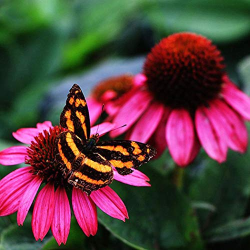 Cioler 50 Samen Echinacea Samen Gänseblümchen samen Sonnenhut Roter Leuchtstern seltene Blumensamen für Hausgarten Pflanz strahlungsabsorbierende
