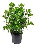 Balsamapfel Princess 70-90 cm im 31 cm Topf pflegeleichte Zimmerpflanze für Hell-Halbschatten Clusia rosea 1 Pflanze