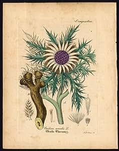Rare Antique Botanique print-carlina acaulis-carline thistle-artus-kirchner-1848