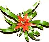 1 getopfte Bromelie für Terrarien und Paludarien, Topfpflanze, blühfähig