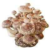 Shiitake-Pilzzuchtkultur Pilzzucht Pilze selbst züchten