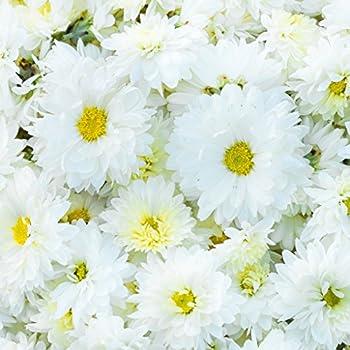 200 SEEDS PERENNIAL FLOWERS CRAZY DAISY DOUBLE Chrysanthemum leucanthemum