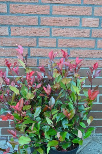 immergrüne Zwerg - Glanzmispel Photinia fraseri Little Red Robin 40 - 60 cm hoch im 3 Liter Pflanzcontainer