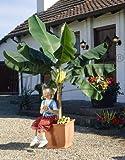 Obst (Musa Basjoo (Banane))