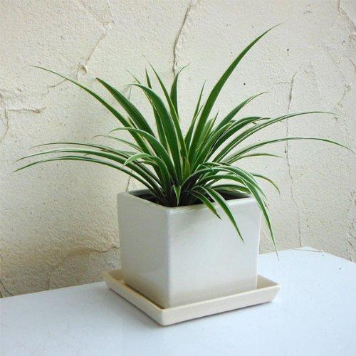 オリヅルラン(外斑)タリーズキューブ植え・ソーサー付き(白)[3号]