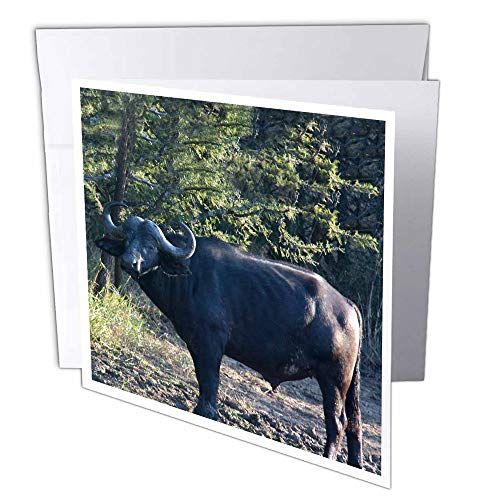 South Buffalo (3D Rose GC 20120_ 2South African Buffalo Seite View Face View-Grußkarten, 15,2x 15,2cm Set von 12)