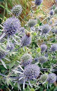 JustSeed Eryngium planum, Meer-Mannstreu, Blumen Holly 500 Samen, Groß packung