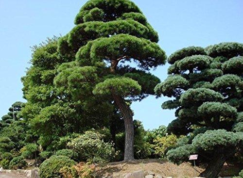 2016-vendita-diretta-sementes-semi-20-pc-lotto-semi-giardino-bonsai-pino-podo-carpo-arbusti-sempreve